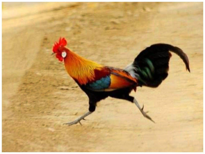 """睹识一下最贵的""""家鸡"""",若是您敢动它,便有牢狱人员去找您"""