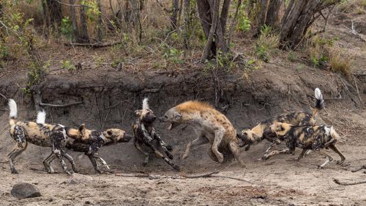 掏肛者人恒掏之!鬣狗强抢家狗群食物,出占到廉价还反被经验