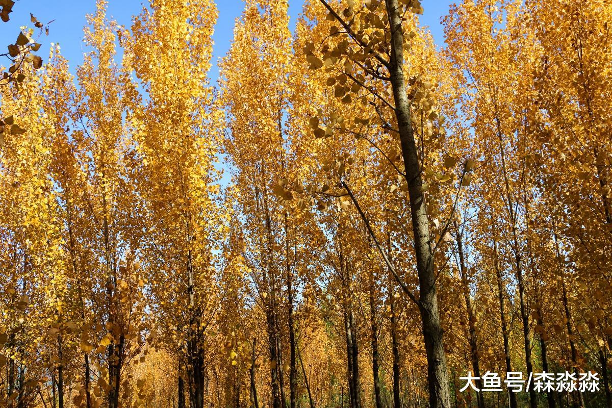 美爆了,临潼数百亩杨树林,告诉你什么叫金秋