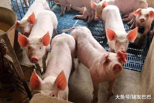 """11月11日猪评:猪价大跌,年底前会跌成""""白菜价""""?看完清楚了"""