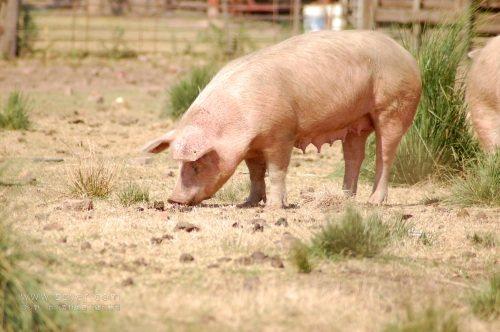 """9日 猪价继续快速下调,全国猪价统一""""环保绿"""""""