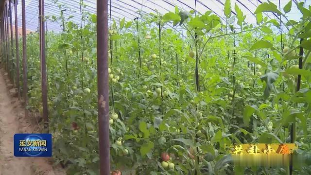 子长:大力发展蔬菜种植