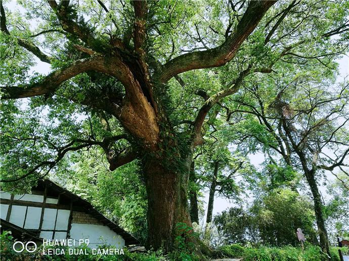 1000多年前,江西人种了几百棵树,今好成秘境,讨价值连城