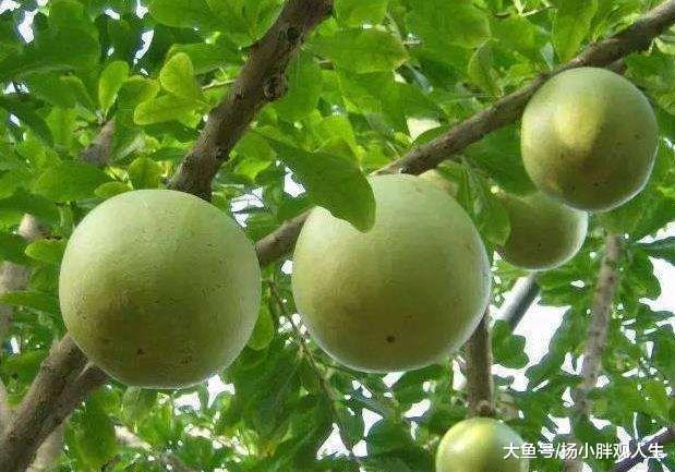 公公种植的西瓜长树上, 几米之内无人敢靠近, 出钱都没人愿意采摘