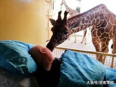 长颈鹿吻别患绝症浑洁工 排场催人泪下!