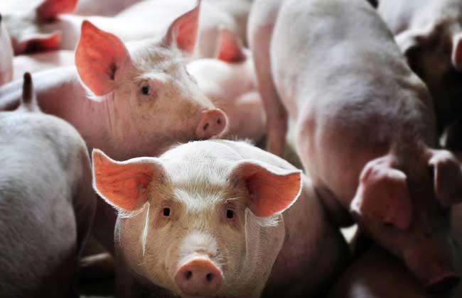 今年养猪户到底挣到钱了吗?养猪户:养的三批猪都亏本了