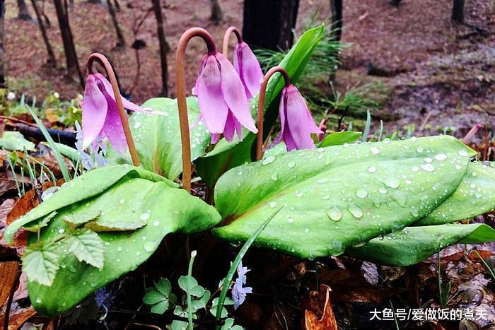 根似猪牙,雪天里能开花,国际视它为家草,在日本却是高级食材