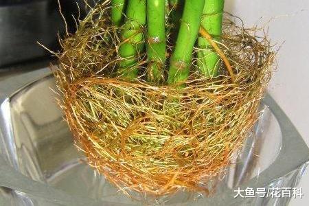 刚返来的贫贱竹,做好建根,虫子不招长新叶!