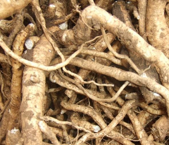 这种中药材,一感冒都想着它,农户们该如何种植呢?