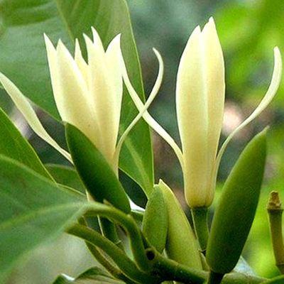 """此花""""再懒""""的人也能养!10天不浇水照样能开花,比桂花还要香!"""