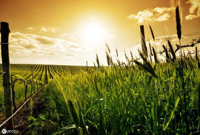 农村的杂草竟然还有这种作用 幸好我知道得早