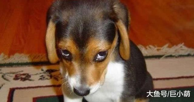 狗狗做错事,如果主人骂狗有用的话,就不用训犬师了