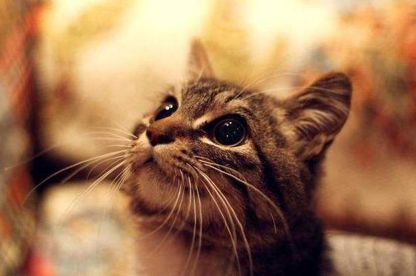 在我的印象中,猫不该该心爱又粘人吗,怎样会有那么自信的虎斑猫?