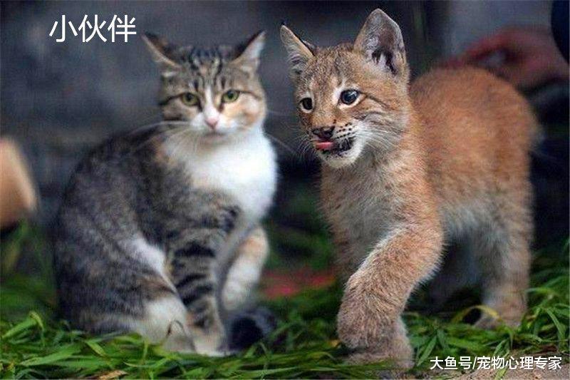 饲养员拾到山猫宝宝, 害怕它活不下去,随后的生活令人羡慕