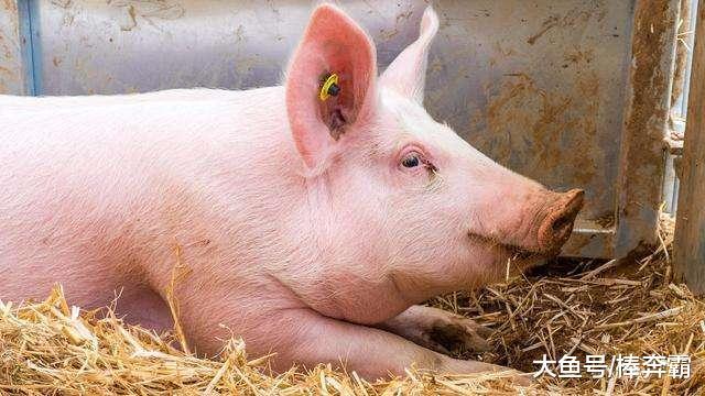 12月2日猪价:全面上涨,猪价在12月刚开始就上涨,能持续多久?