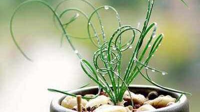 """它的""""发型""""可不是""""烫""""的,真正的""""自然卷"""",弹簧草就是这么萌!"""
