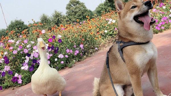 王珞丹寻鸭启示!曝光抓鸭人画面,期望早日归还