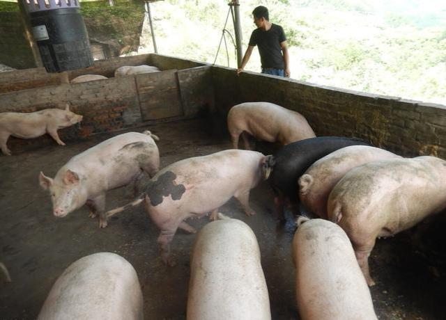 """9月20日猪价:""""滑坡式""""下跌!16元一斤也保不住?答案来了"""