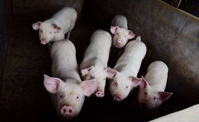 我国生猪生产的养殖人定位问题不解决,猪肉供给与价格很难稳定 畜牧业 农业 三农 生猪 单机资讯  第1张