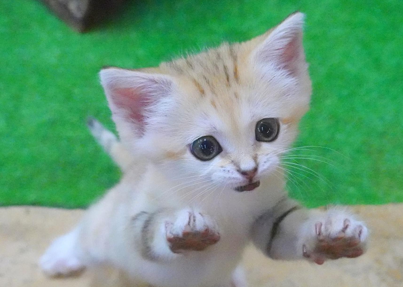 日本动物园的小沙漠猫,跟天使一样,简直太可爱了 猫 狗 宠物 动物园 动物 单机资讯  第3张