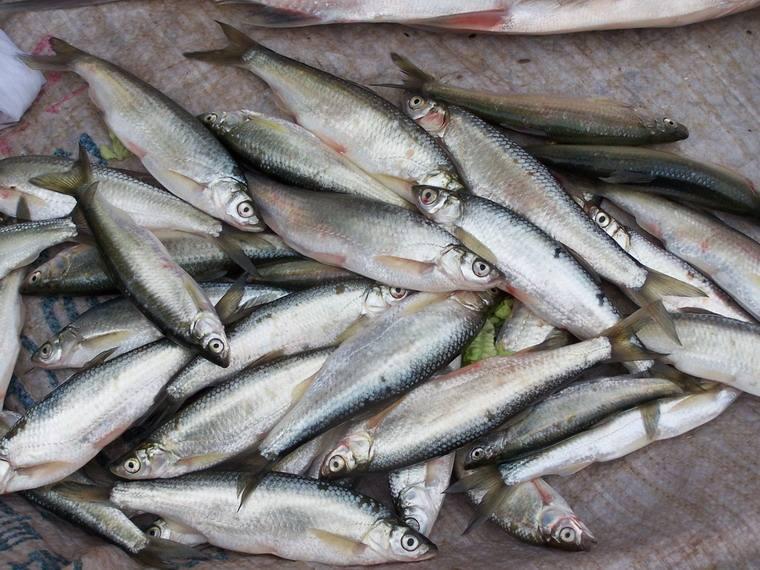 亚洲 小说 欧美 另类_白条精?在安徽老家钓获巨型白条鱼,朋友:能长这么大,真没见过