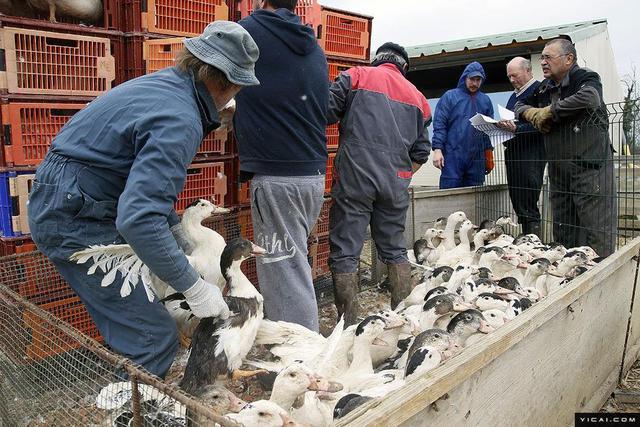 都说外国鹅肝贵,为什么不用中国鹅肝代替? 鹅肝 法国鹅肝 每日推荐  第6张