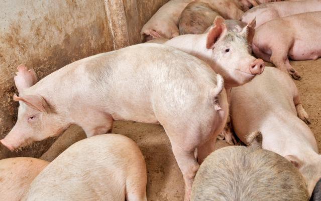 1月猪价三连涨,红包行情已开启,专家:别怕,4因素保证猪肉供应