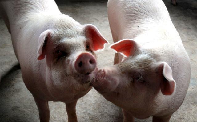 9月11日猪价:高位运行,养猪还能赚几年钱?专家给出权威预测