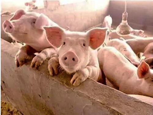 """""""火箭猪""""是被储备肉压住了吗?2个坏消息,附7号猪价"""