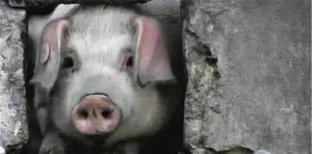 dnf封印紫_汶川地震时,被困36天的猪坚强,已在博物馆好吃好喝住了12年
