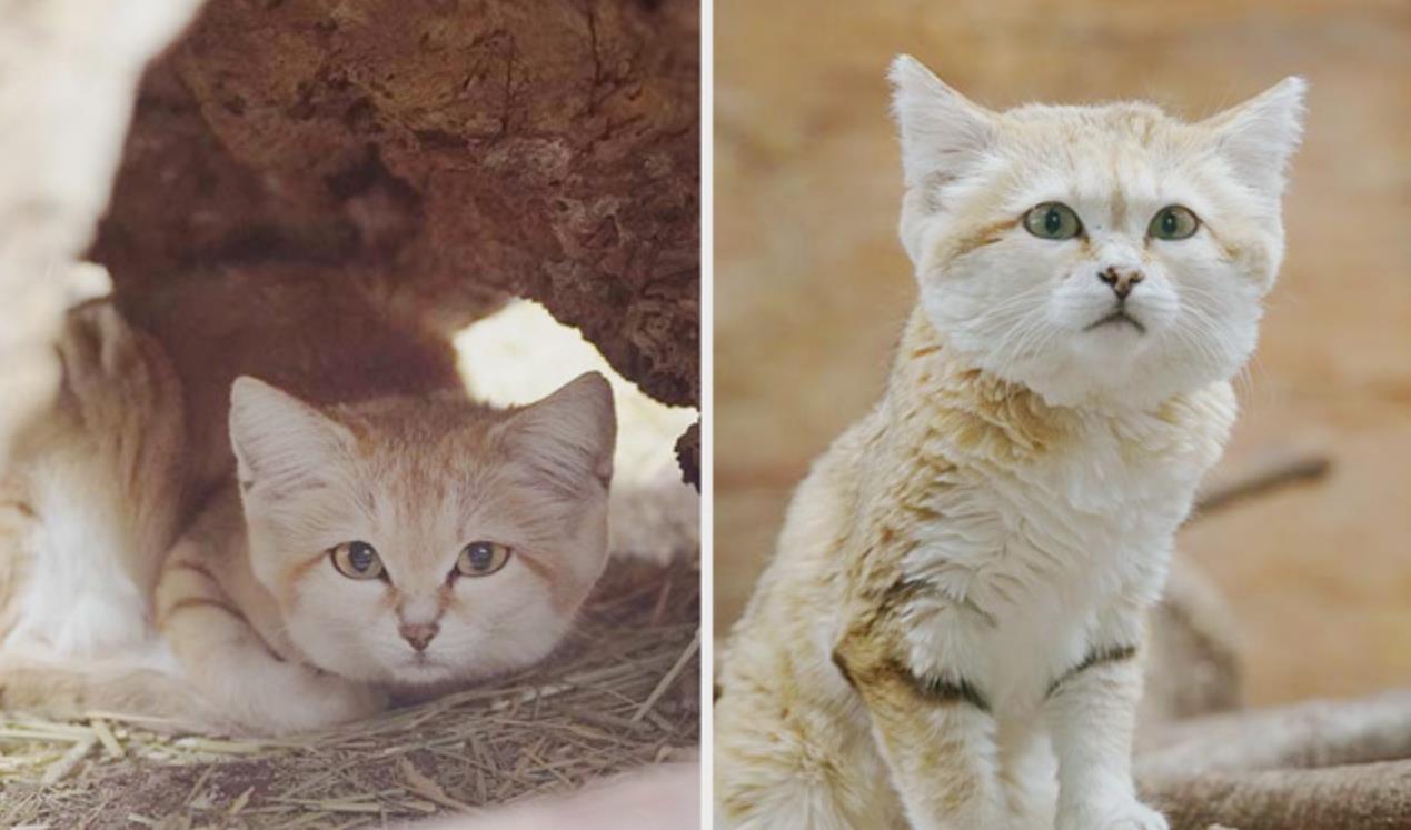 日本动物园的小沙漠猫,跟天使一样,简直太可爱了 猫 狗 宠物 动物园 动物 单机资讯  第5张