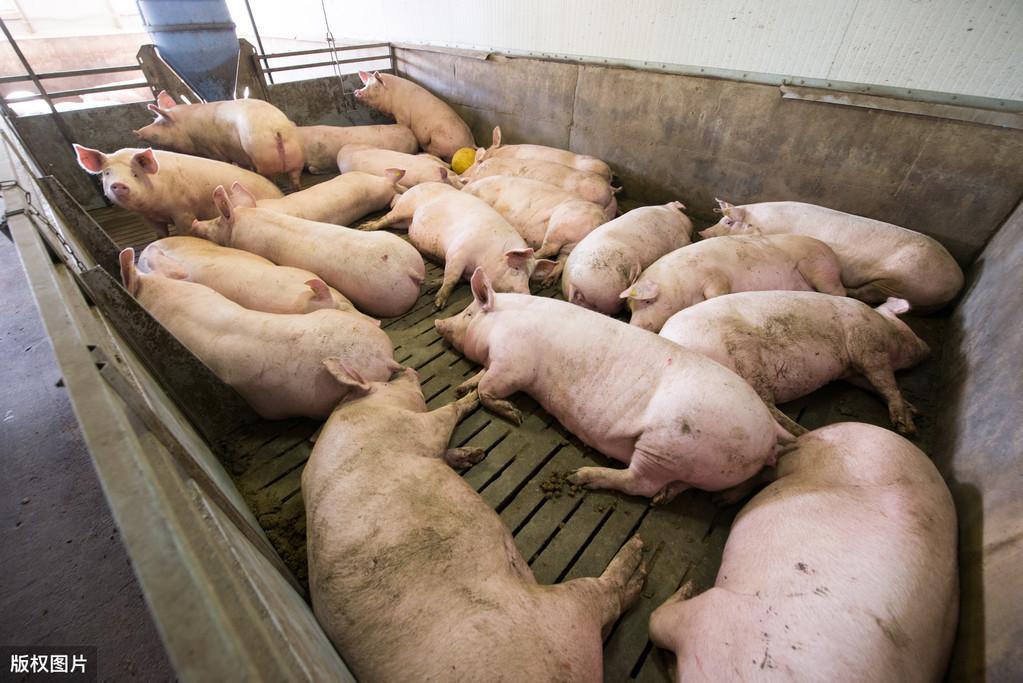 5月24日猪价:一路涨!猪市一片红火,为啥养猪户却担心了起来?