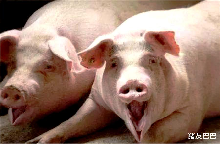 """9月14日猪价:下跌无止境!猪价17元一斤也要""""陷落""""?答案来了"""