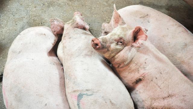 """猪价""""5连涨"""",报价涨了,为何农民却说没涨?咋回事?"""