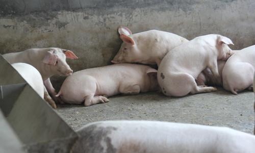今日生猪价格继续下跌!2020年9月10日生猪价格今日猪价