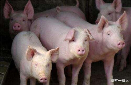 2月13日猪价:继续上涨,南北差价再扩大,后续恐两极分化?