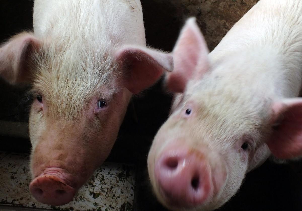 春节临近,最近生猪价、猪肉价连续上涨,2020年上半年将如何走势?