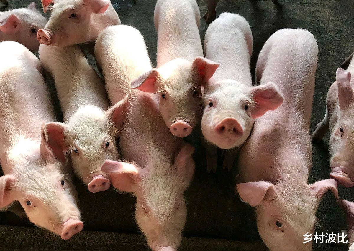猪价持续下跌,猪肉价格今年会下降到15元/斤吗?