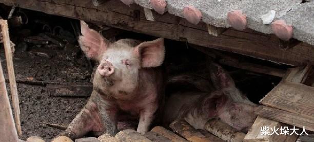 数码兽大冒险tri._汶川大地震突出重围的猪坚强