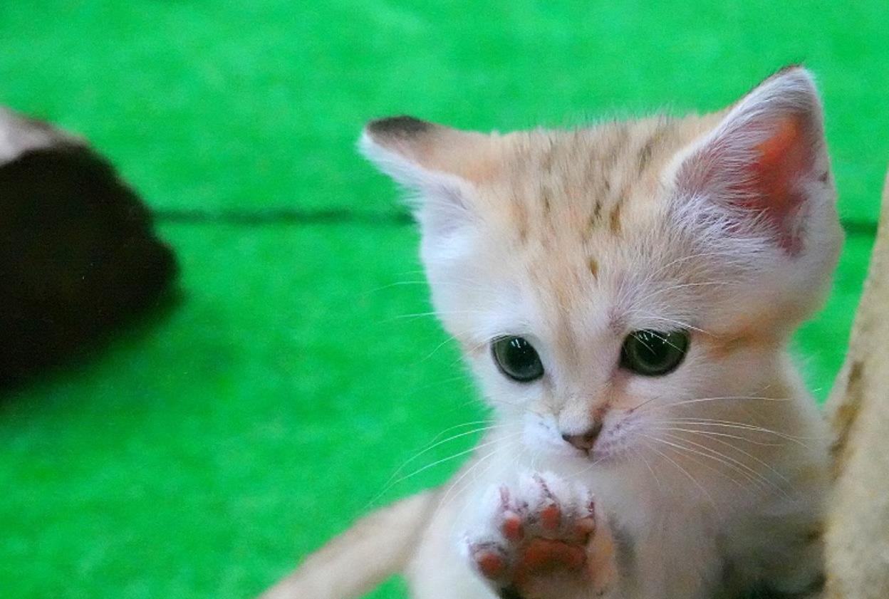 日本动物园的小沙漠猫,跟天使一样,简直太可爱了 猫 狗 宠物 动物园 动物 单机资讯  第1张