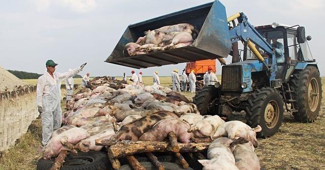 生变!养猪或进噩梦期,价格下跌,恐再遭它突袭,猪肉会下跌吗?