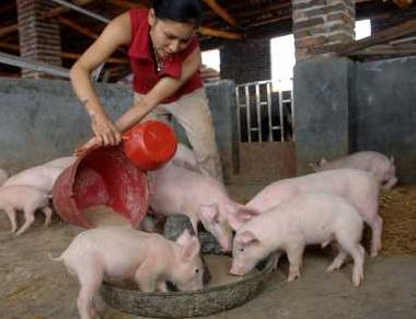 养猪风险与收益并存,如何防范猪瘟,做好以下几点养猪不慌