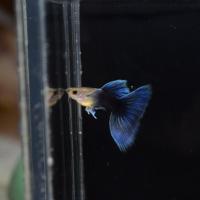 一只叫瑞秋的鱼