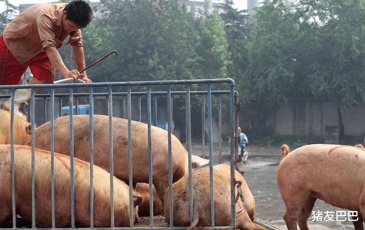 """猪价""""涨红不止"""",10元肉价""""梦碎""""?7月猪价要""""狂跌变天""""?"""