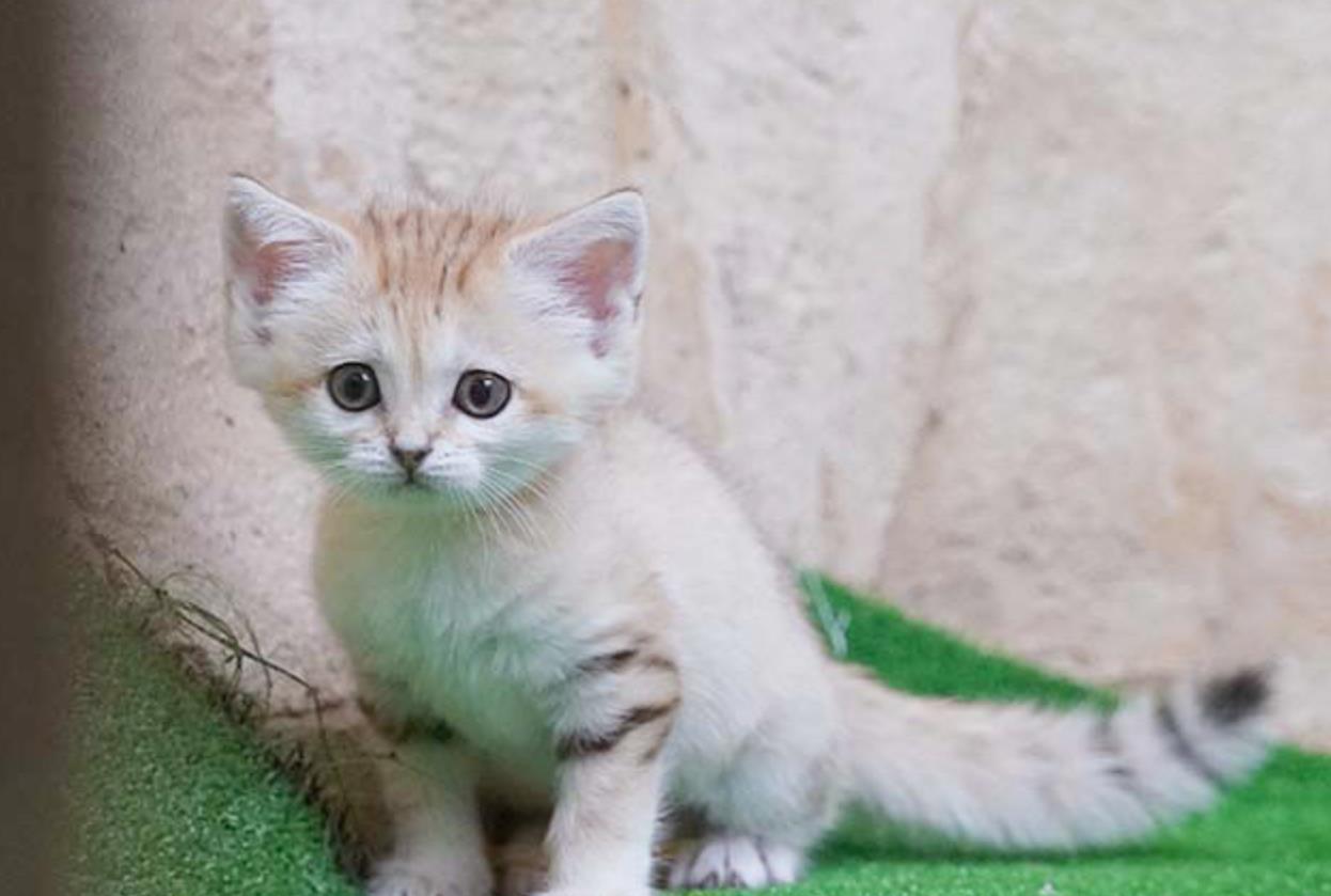 日本动物园的小沙漠猫,跟天使一样,简直太可爱了 猫 狗 宠物 动物园 动物 单机资讯  第4张