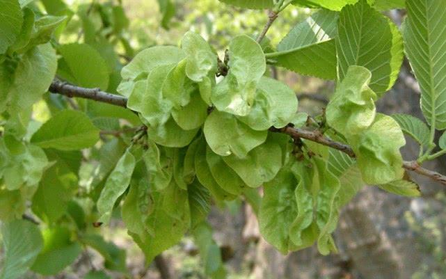 它不是槐花,却被视为4月最嫩,能健脾消毒减肥铁是菠菜的11倍