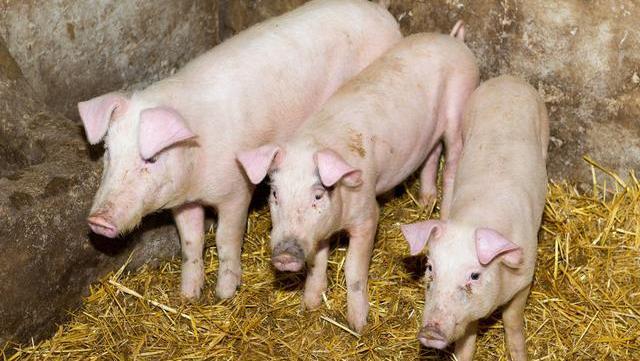 5月21日猪价触底反弹,轻取5连涨,5年后我国恐仅剩三种养猪人?