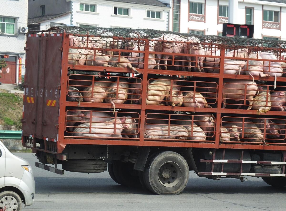 9月21日猪价:跌跌不休!双节来到,为何也挡不住猪价的回落?