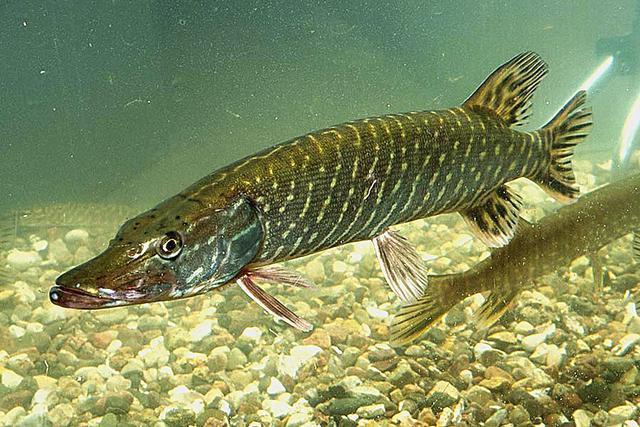 谁说我国没有猛鱼?寿命200岁、体重近百斤,食人鱼根本不是对手 雷龙 食人鱼 每日推荐  第2张