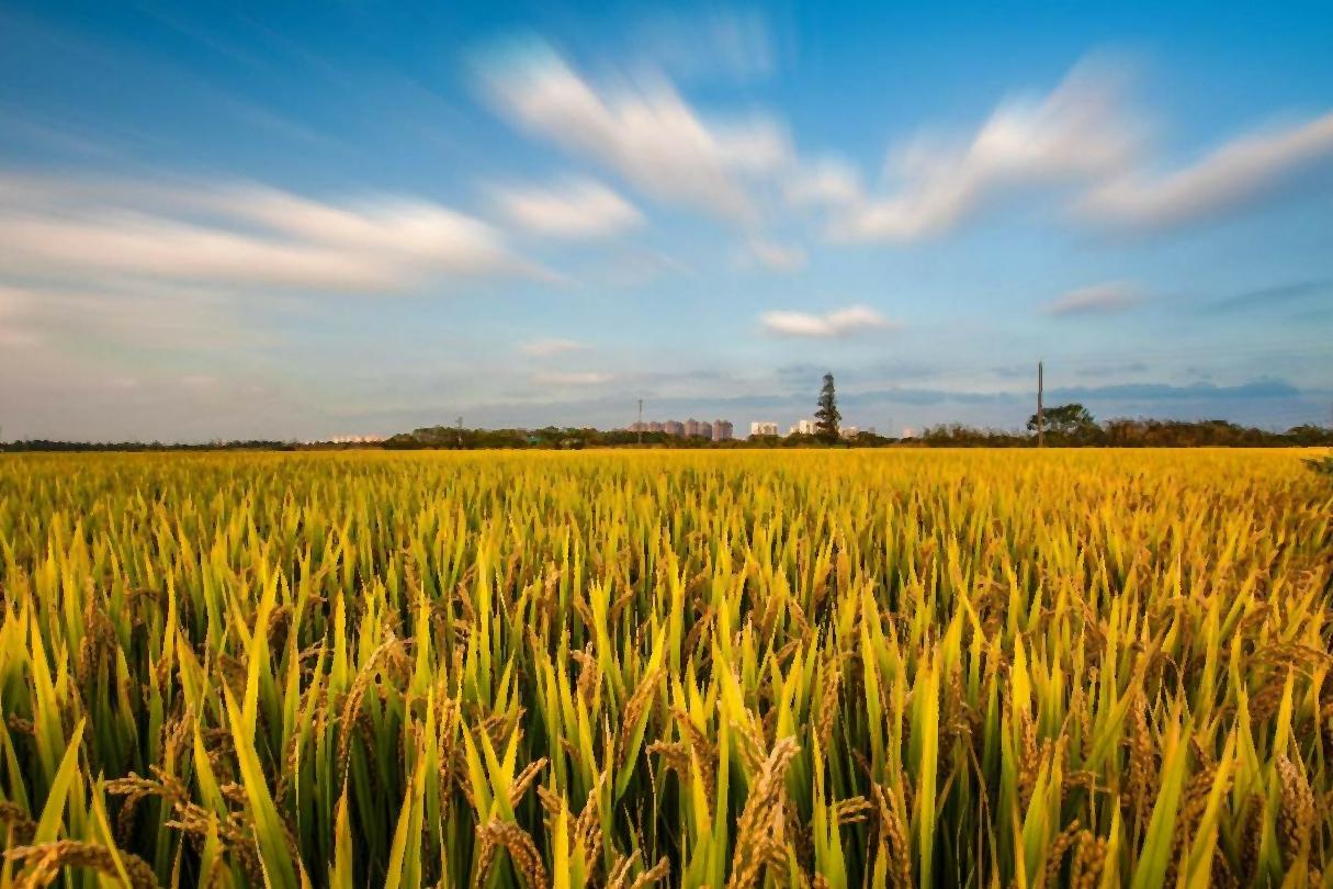 """""""疯狂""""的小麦,价格已升至罕见的1.3元,为什么农民还不卖呢?"""
